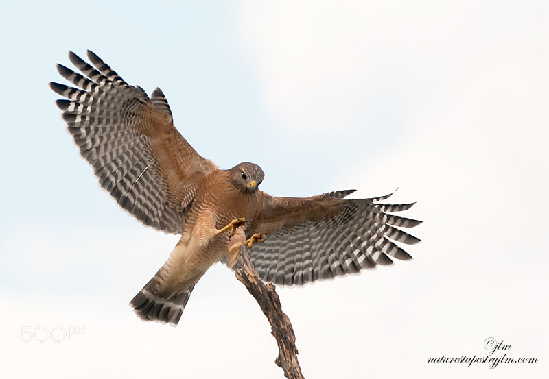 This image of the Red Shouldered Hawk was taken as he was coming in to land on a large snag.  They are such majestic birds and it is always a thrill to get a close glimpse of them in aftion.