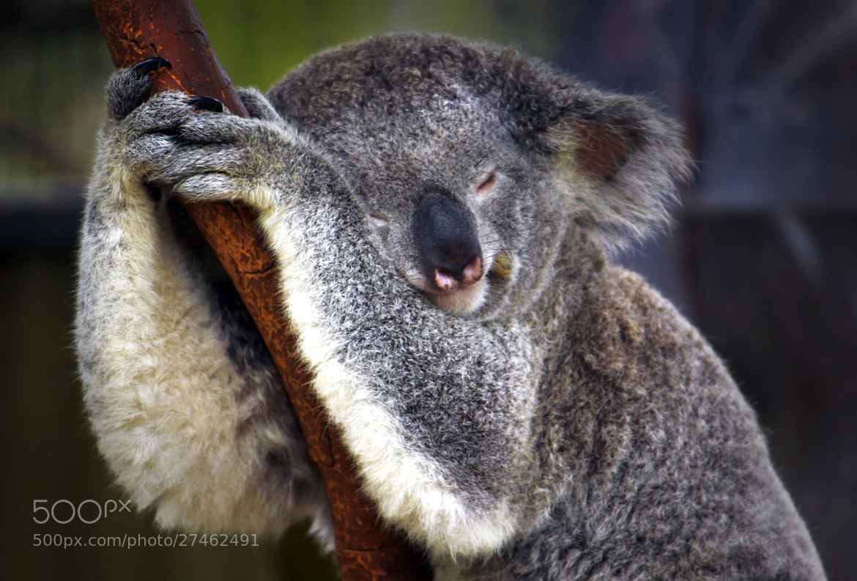 Photograph The Koala Sleeps by Rhys Pope  on 500px