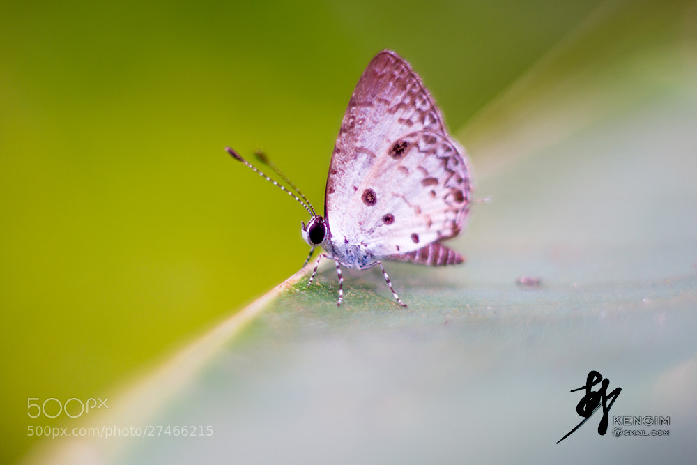 Photograph Butterfly special version by Ken Gim Seng Chye on 500px