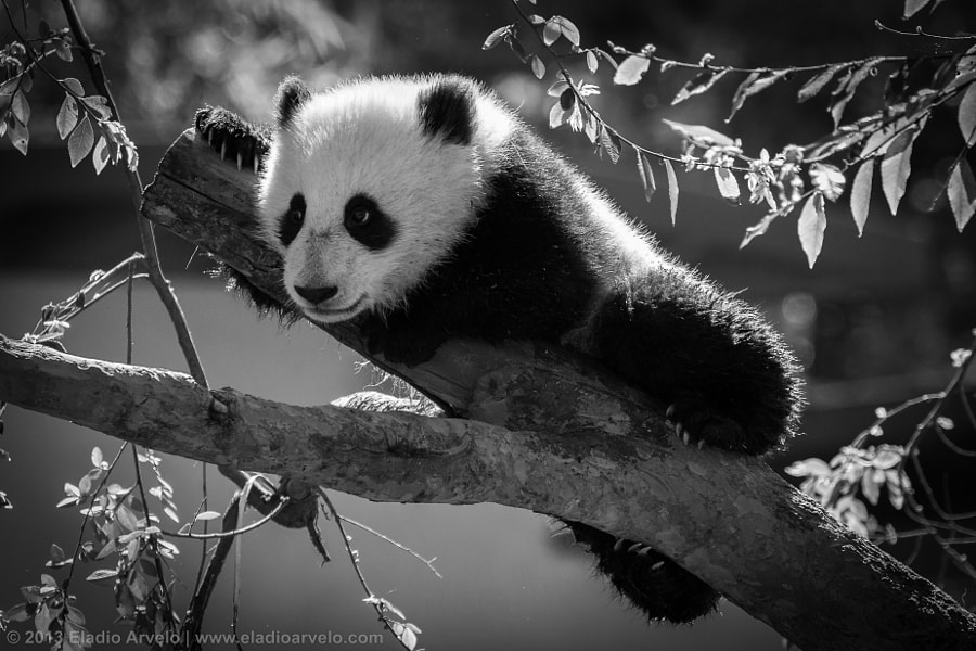 Photograph Baby Panda by Eladio Arvelo on 500px