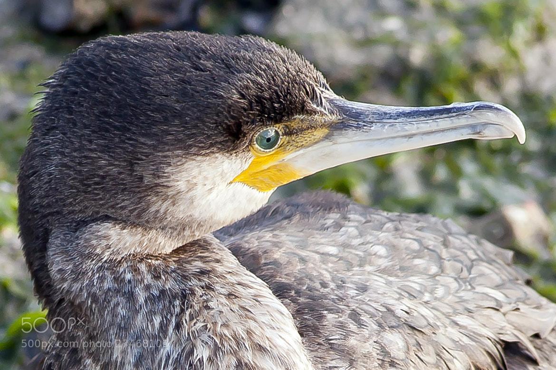 Photograph cormorant portrait by Daniel Antunes on 500px