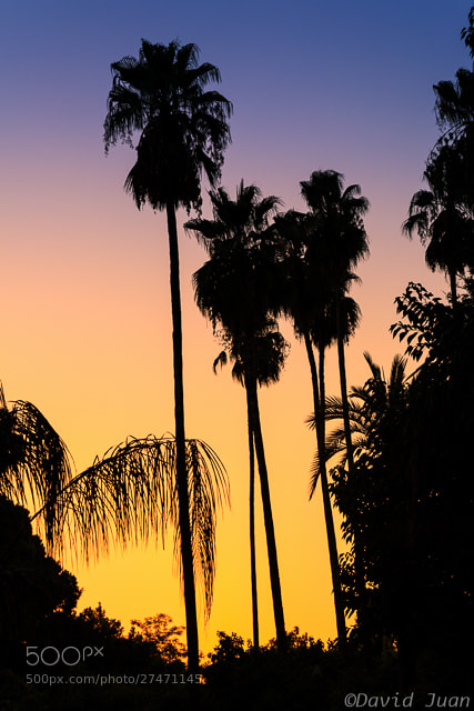 Photograph Palm trees by David Juan on 500px