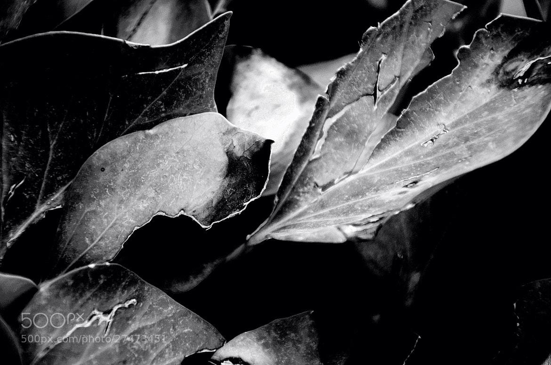 Photograph ivy leaves  by Bartolomé S. Macchiarola on 500px