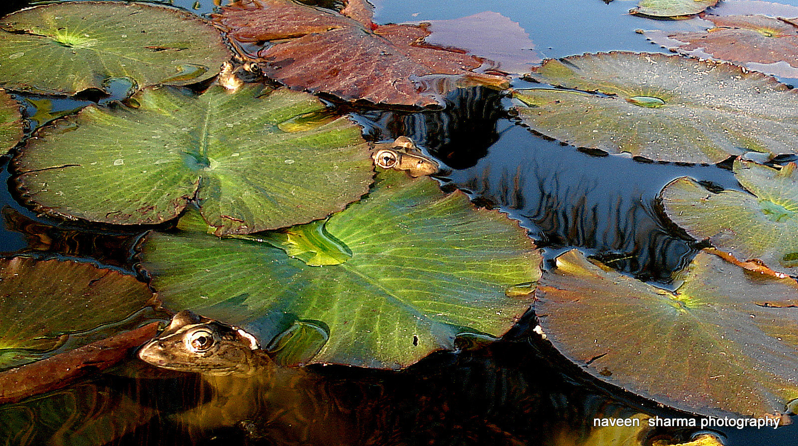 Photograph THREE FROGS TOGETHER by naveen sharma on 500px