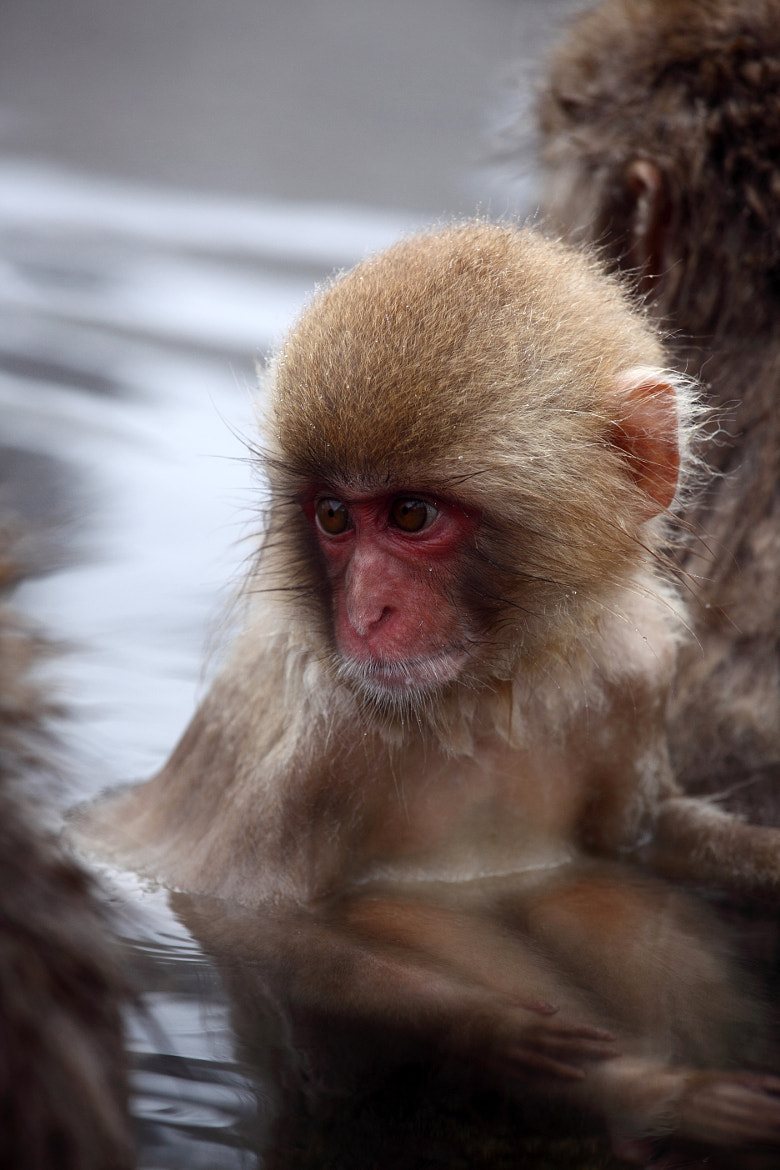 Photograph Snow Monkey by Fan Yang on 500px