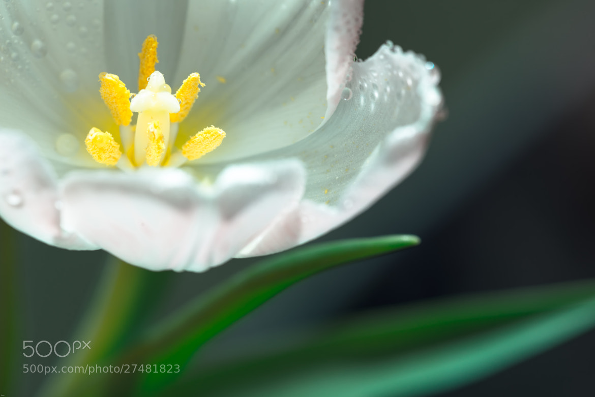 Photograph Tulipe 3 by Arnaud Bratkovic on 500px
