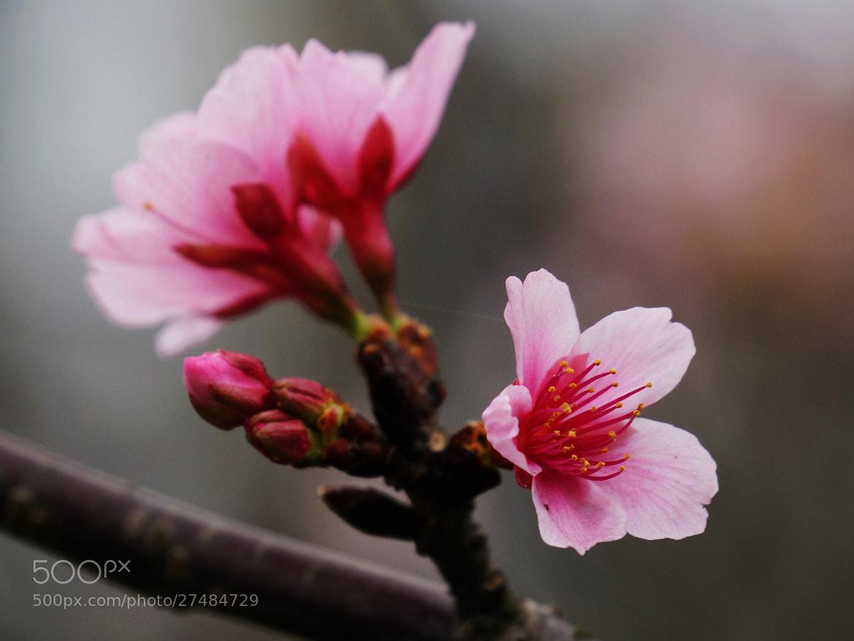 Photograph Cherry blossom by liu han-lin on 500px