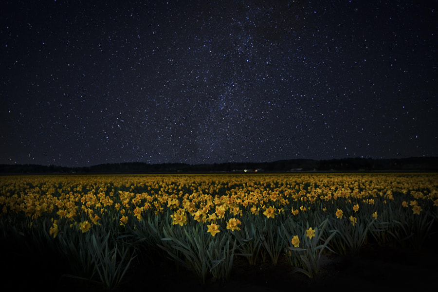 Daffodil Fields by Jake Johnson on 500px.com