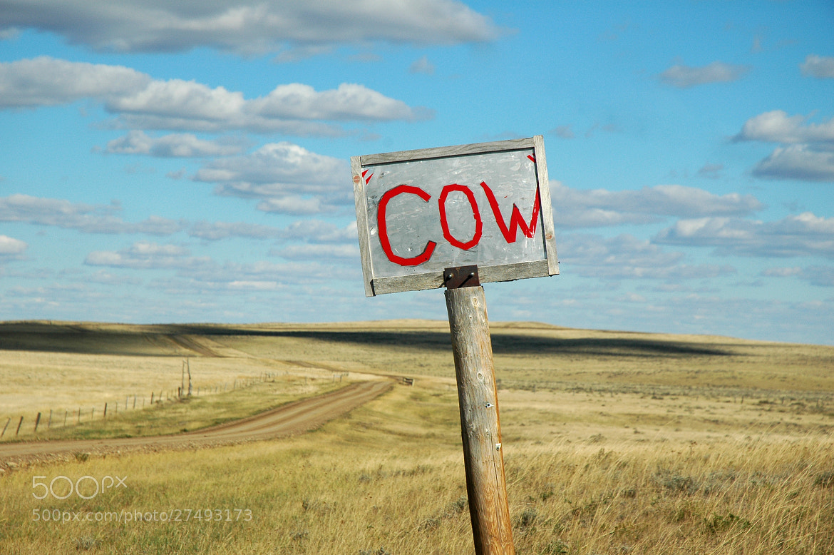 Photograph Cow ... by Mark Hufstetler on 500px