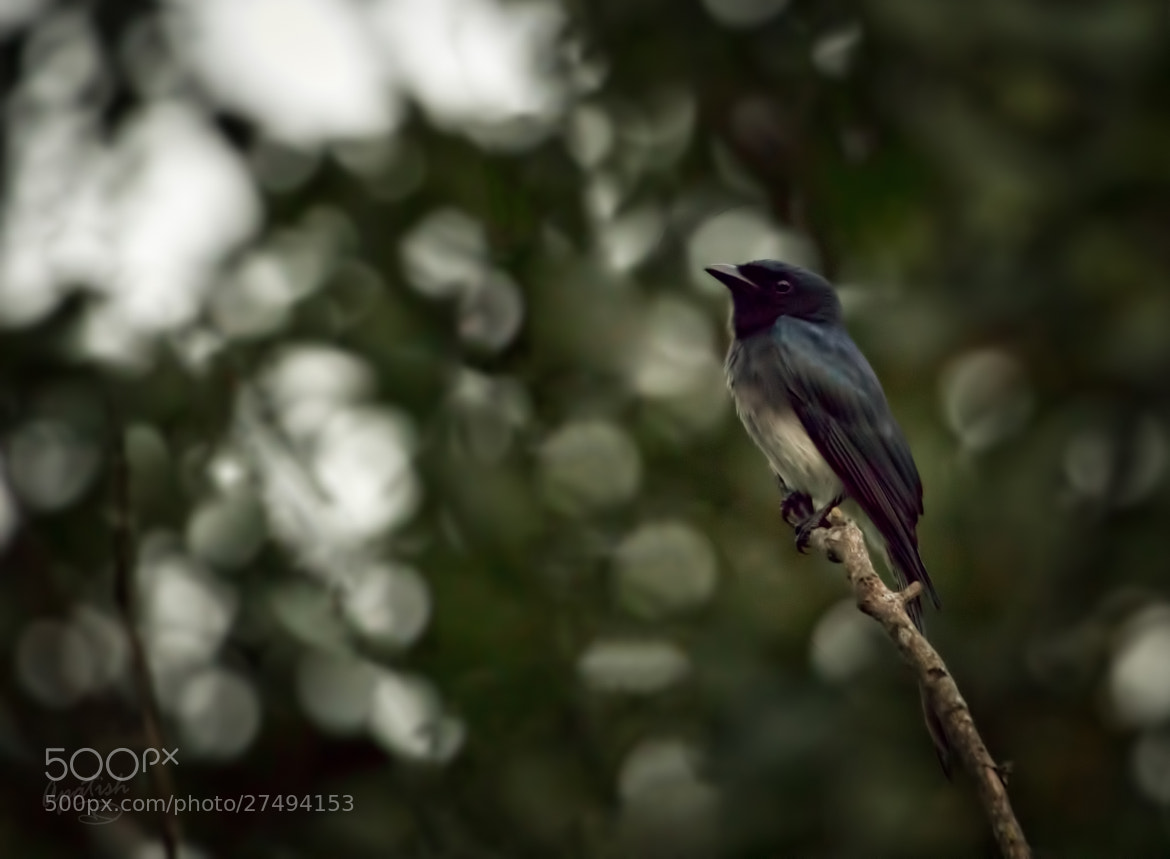 Photograph White-bellied Drongo by Ariel Patish on 500px