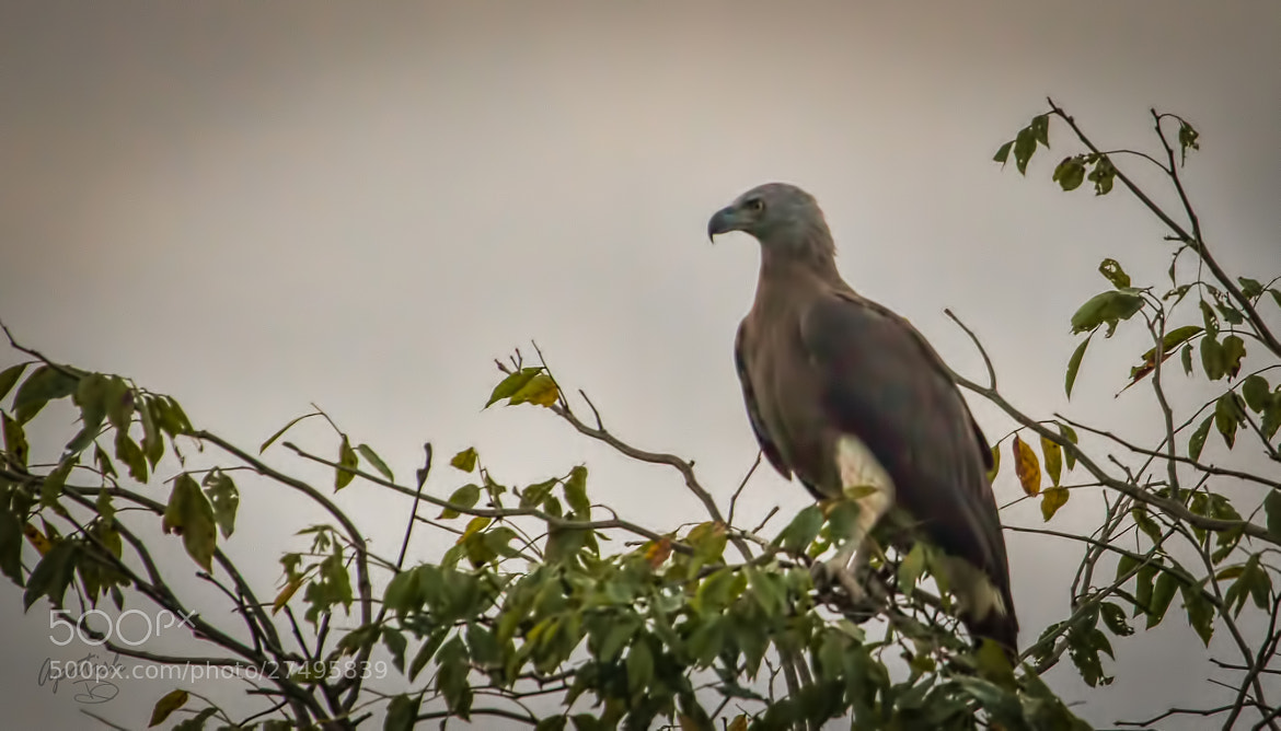 Photograph Grey-headed Fish Eagle by Ariel Patish on 500px
