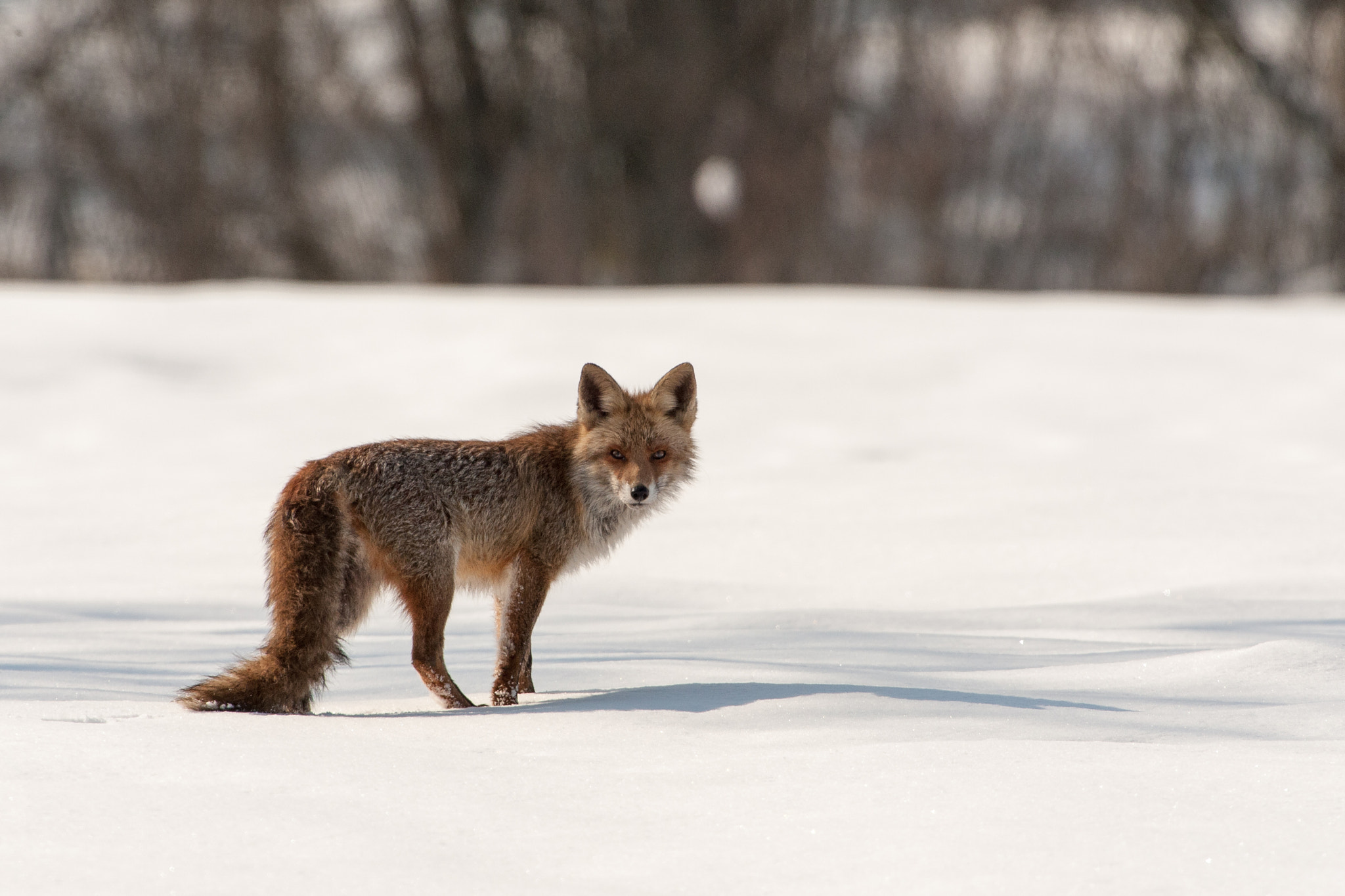 Photograph Red Fox in snow by Marc Pihet on 500px