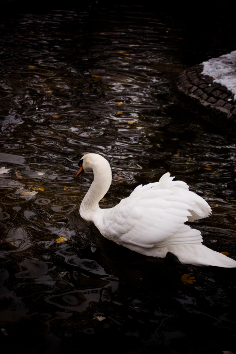 Photograph swan by Caner Korkmaz on 500px