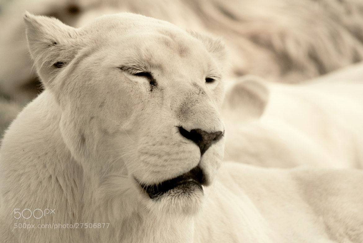 Photograph Simba by Tom Magnum on 500px