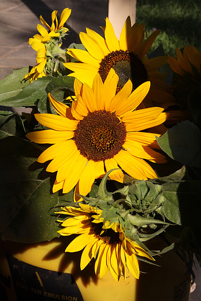 Photograph Afternoon Sunflowers by Lorene Lavora on 500px