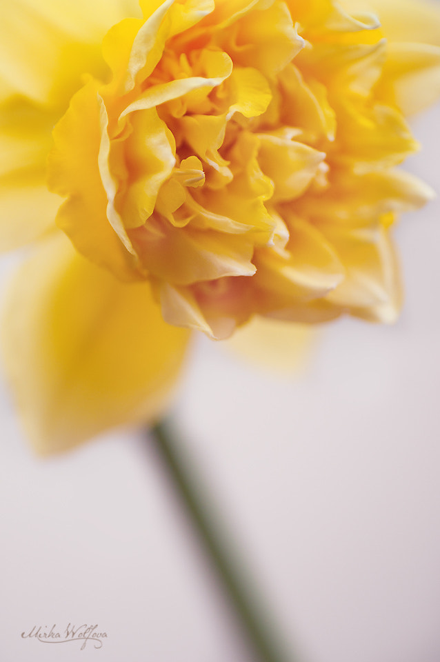 Photograph Daffodil by Mirka Wolfova on 500px