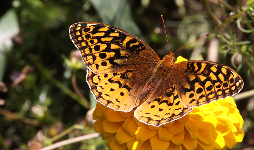 Photograph Great Spangled Fritillary by Lorene Lavora on 500px