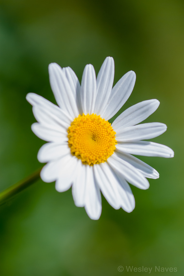 Photograph Little Daisy by Wesley Naves on 500px