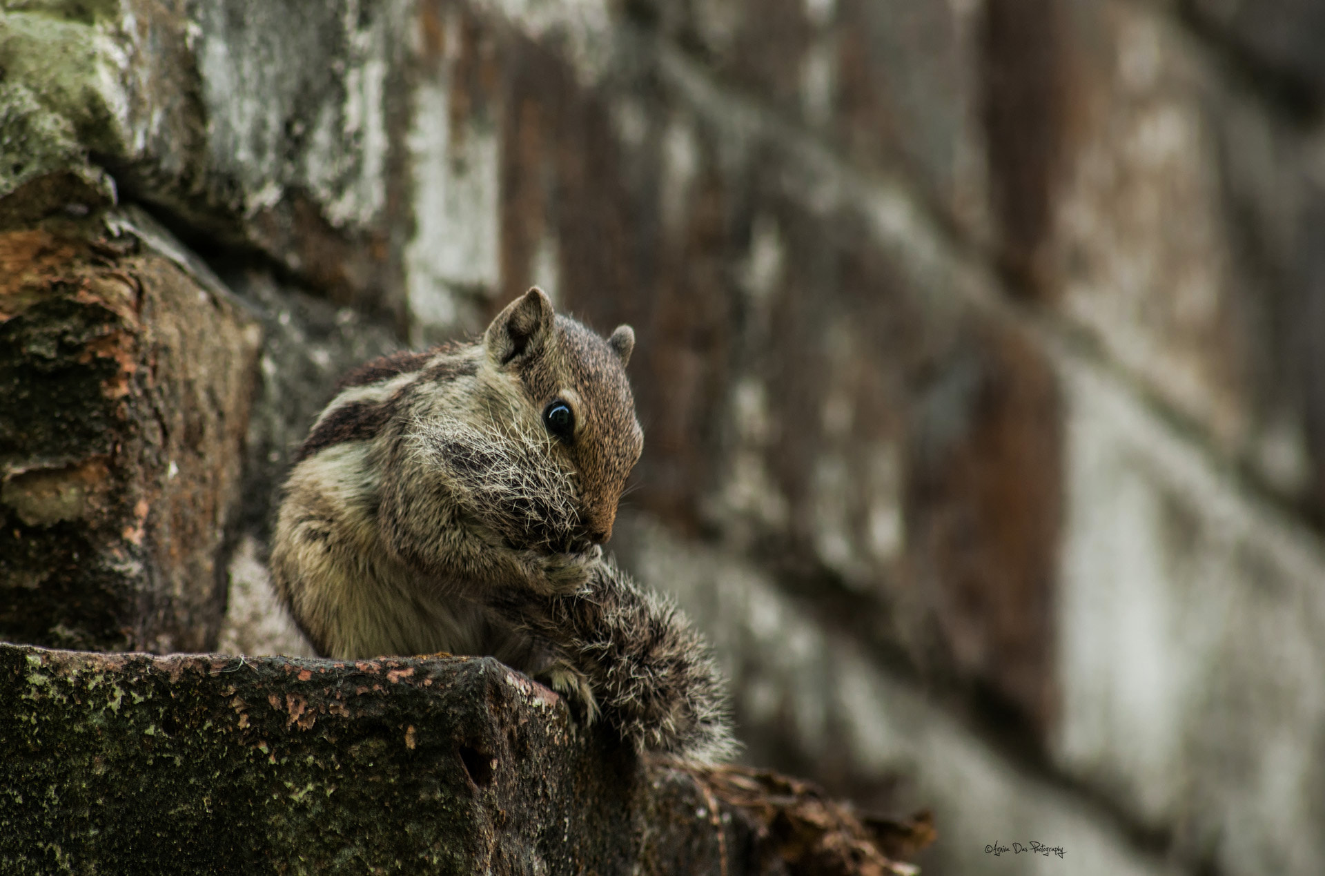 Photograph Palm Squirrel by Agniva Das on 500px