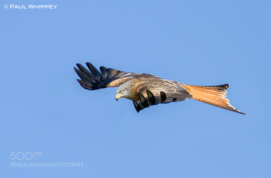 Photograph Kite gliding by Paul Whippey on 500px