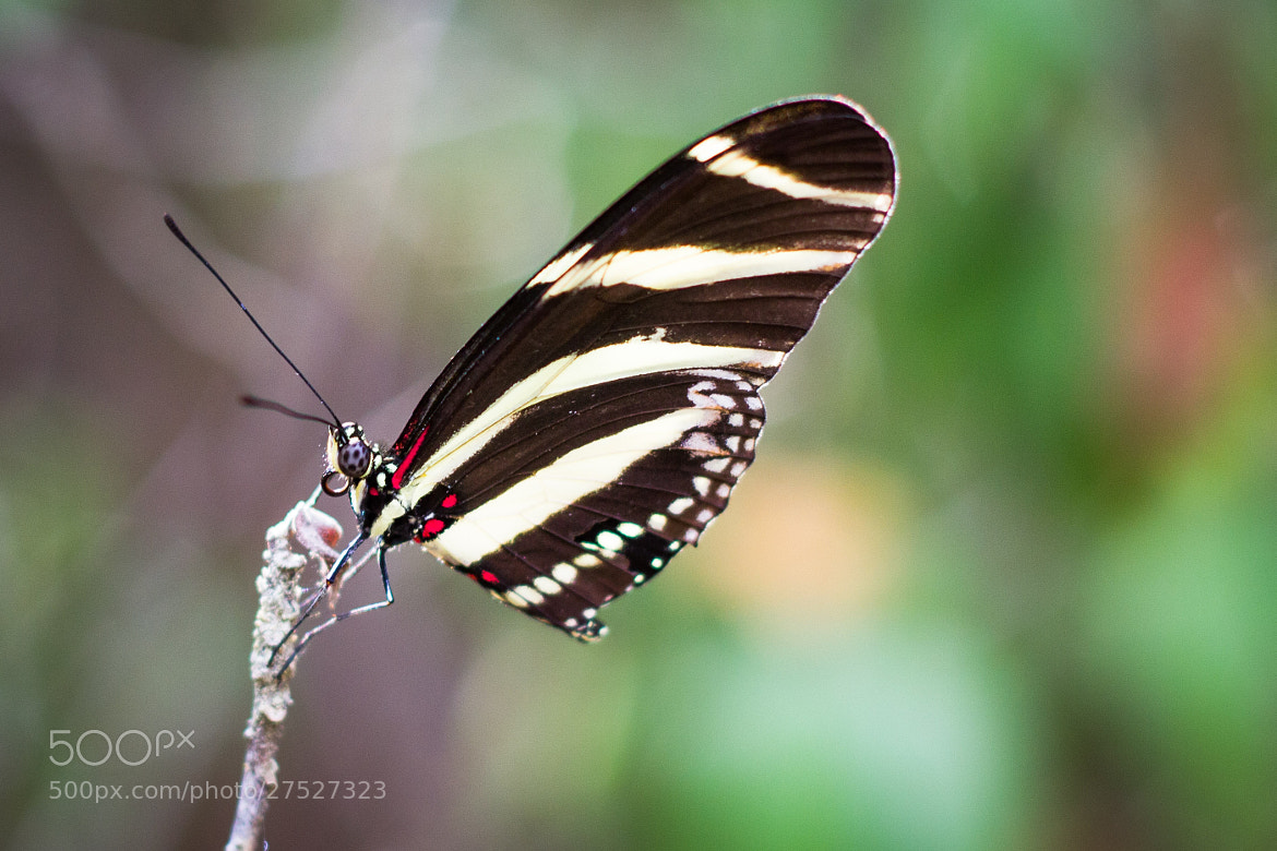 Photograph Butterfly by Leniel Velazquez on 500px