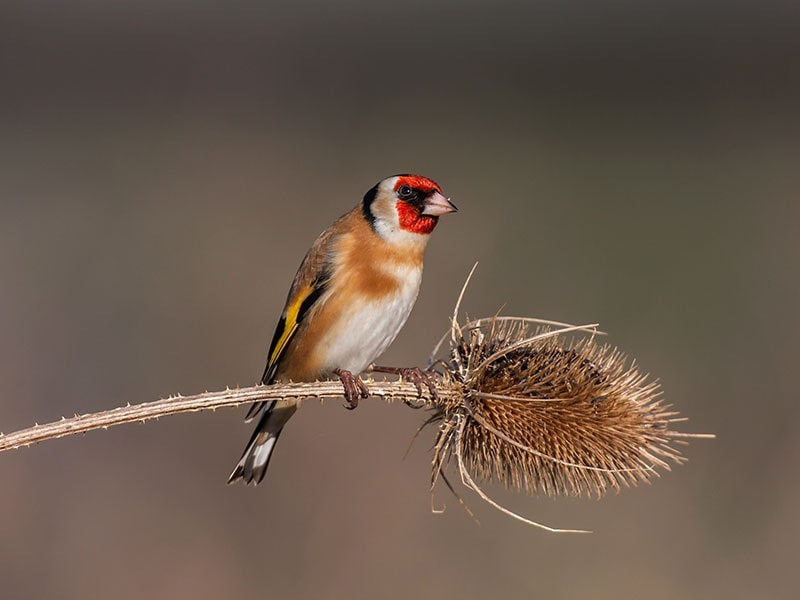 Photograph Goldfinch  by dave blackwell on 500px