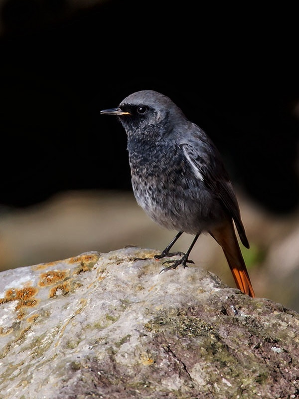 Photograph Black redstart  by dave blackwell on 500px