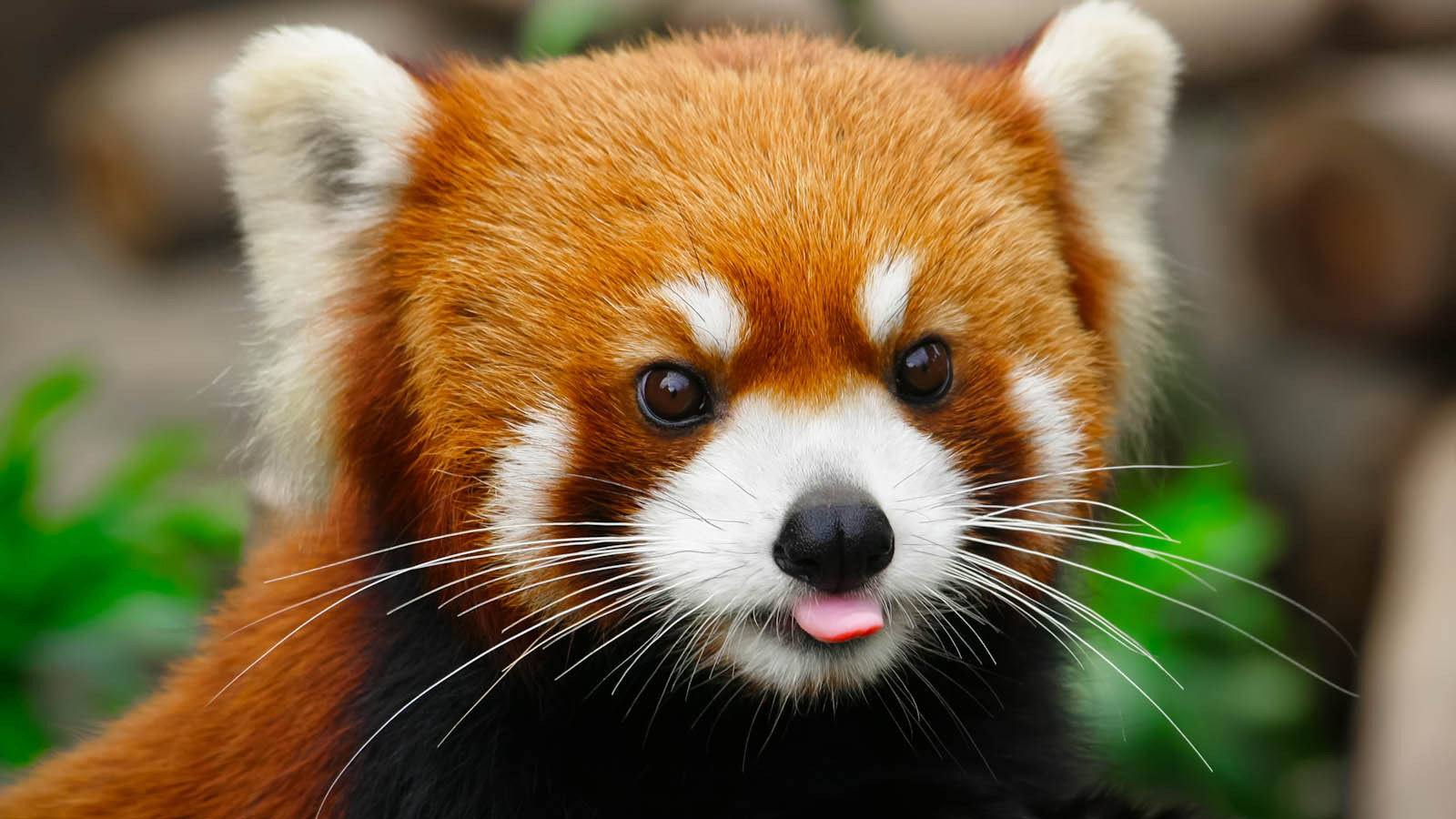 Photograph A little red panda by Harimao Lee on 500px