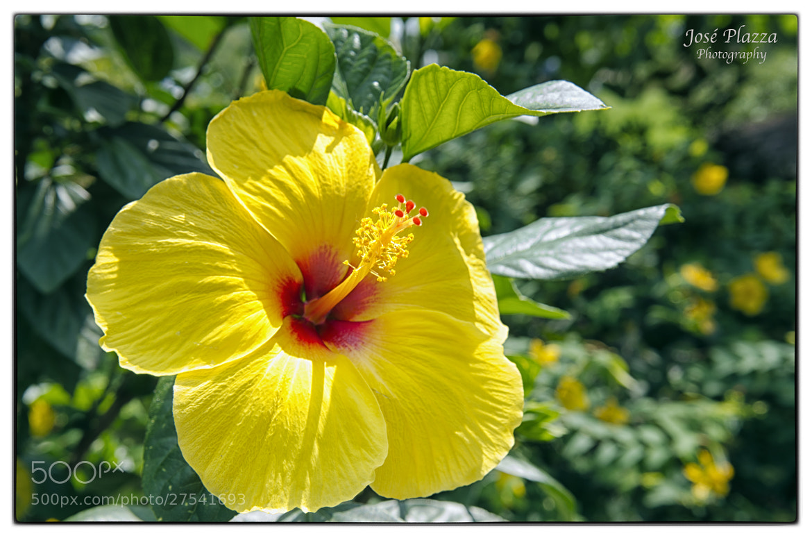 Photograph Yellow Flower by Tio Cheo on 500px