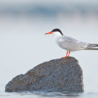 Постер, плакат: Common Tern : Plymouth Long Beach : Plymouth MA