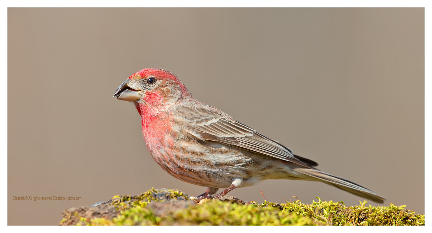 Photograph House Finch  by Elizabeth  E. on 500px
