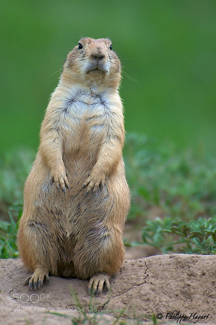 Photograph Prairie dog by Philippe Hayart on 500px