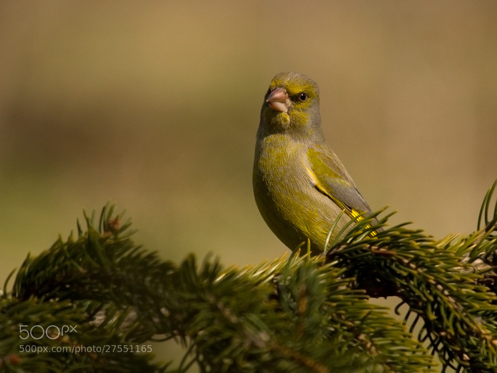 Photograph European greenfinch by zoltán túri on 500px