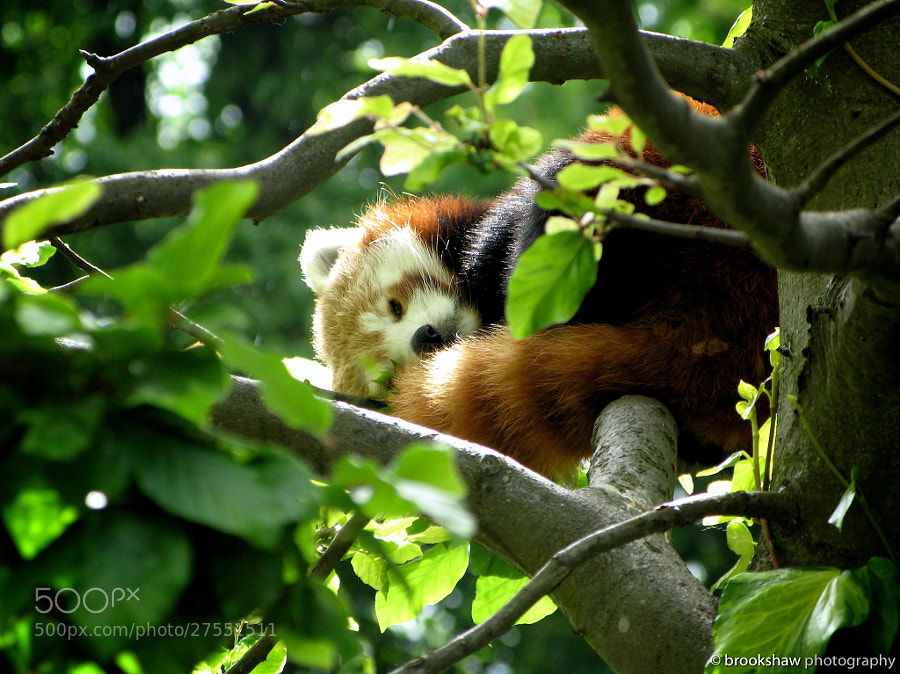 Photograph Summer Red Panda by Gary Brookshaw on 500px