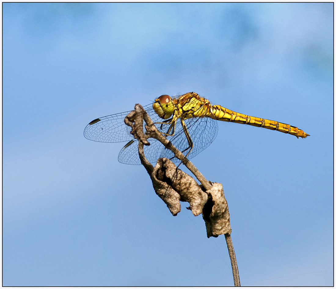 Photograph  Dragonfly.. by Lucy Filippini on 500px