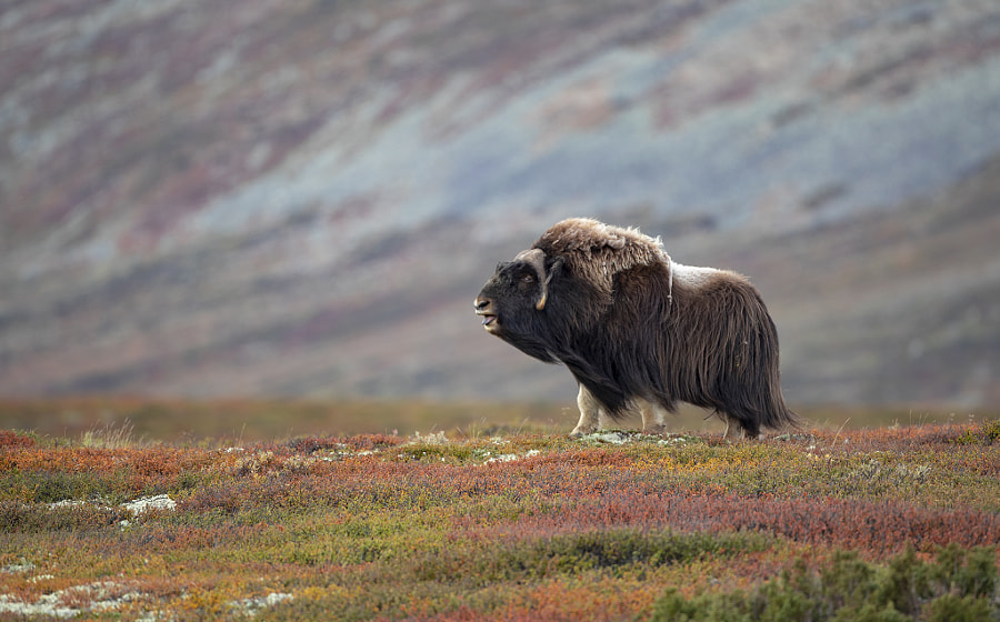 Wonderful Dovre Mountain - Musk by Håkon Øvermo on 500px.com