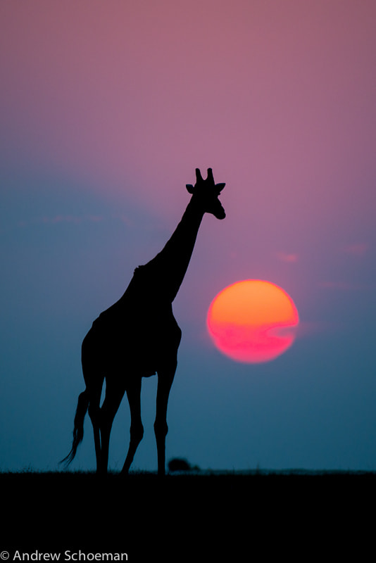 Photograph Chobe Sunset by Andrew Schoeman on 500px