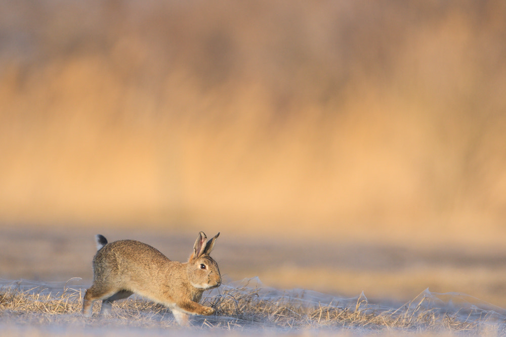 Photograph European Rabbit by Gerhard Kummer on 500px