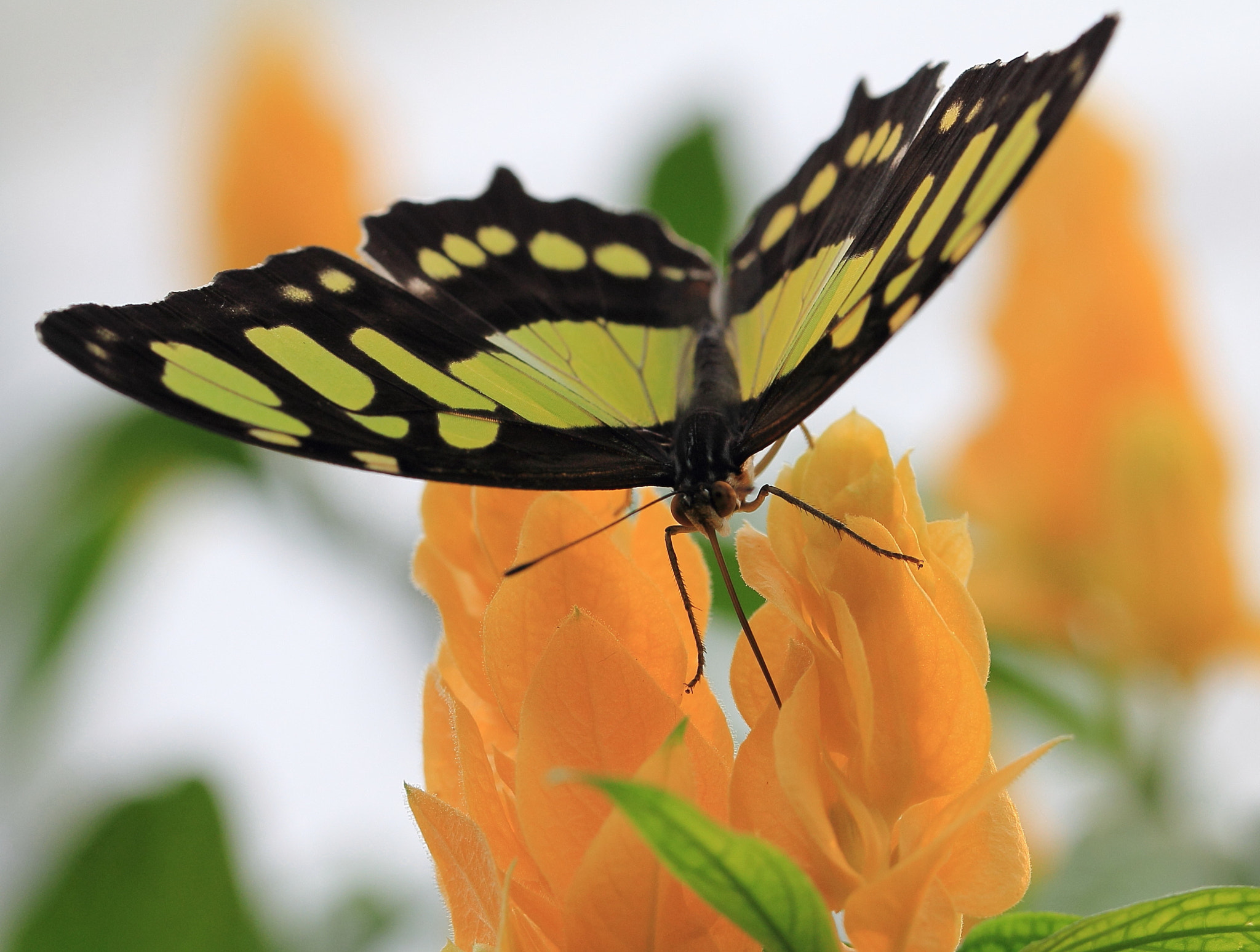 Photograph Green-spotted Swallowtail by Eva Lechner on 500px