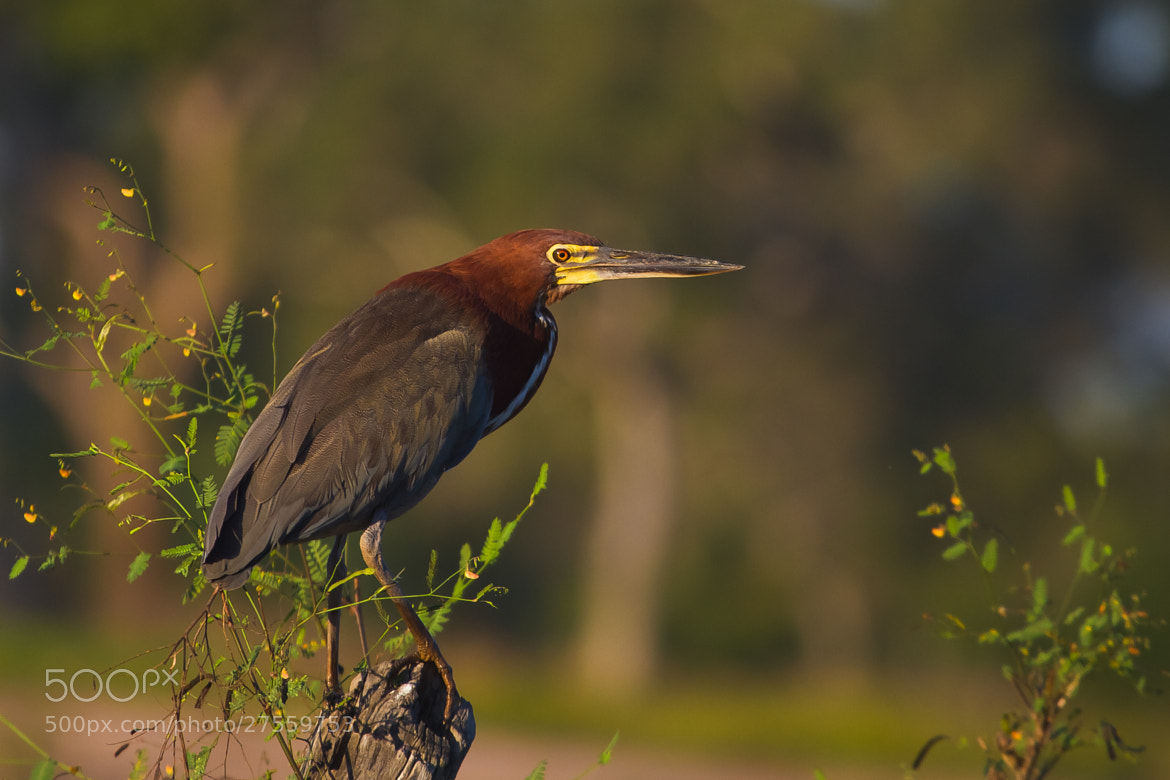 Photograph Rufescent Tiger-Heron (Tigrisoma lineatum) by Bertrando Campos on 500px