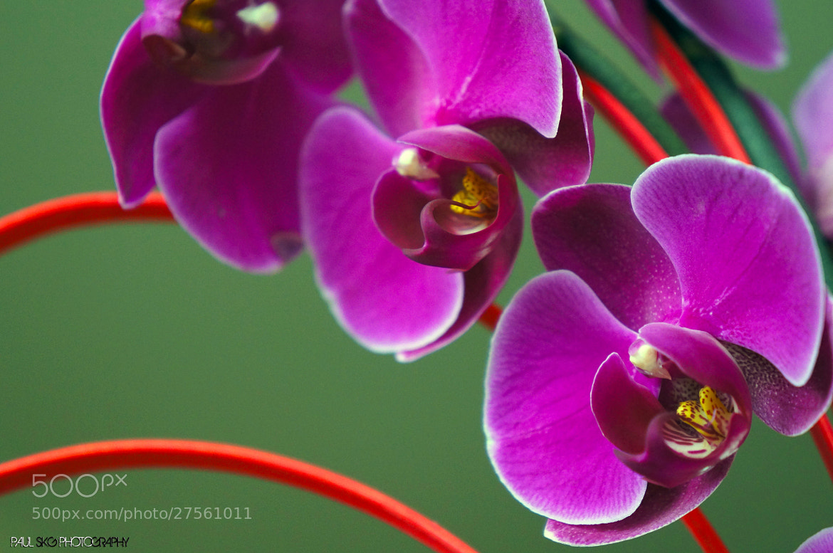 Photograph Orchids by Paul SKG Photography on 500px