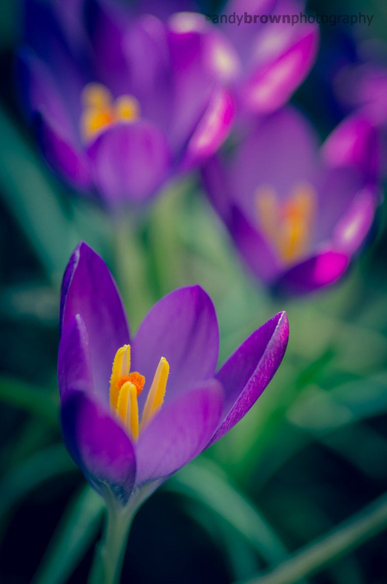 Photograph Crocus by Andy Brown on 500px