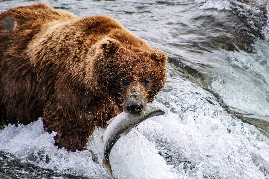 Brown bear at Brooks Falls by Angelika Cramer on 500px.com