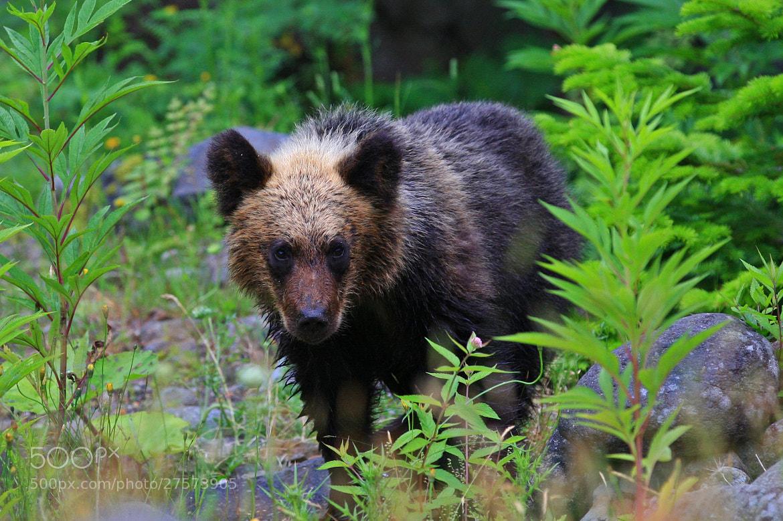 Photograph Brown bear cub  by Akiko F on 500px