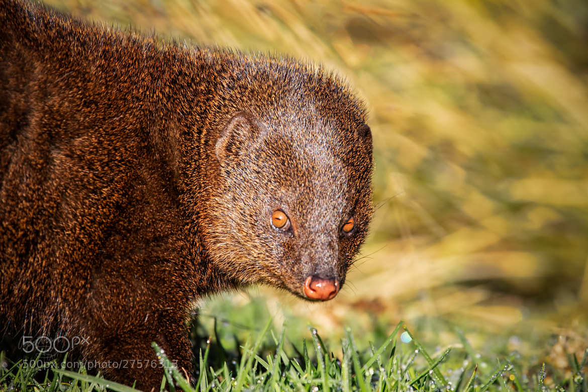 Photograph Indian Brown Mongoose by Ariel Patish on 500px