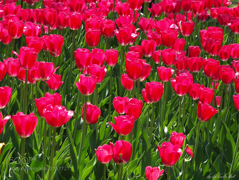 Photograph Ottawa tulip festival  by Krasimir Koychev on 500px