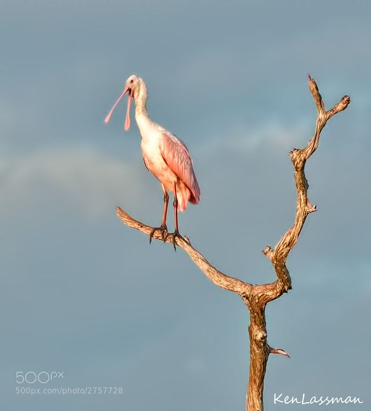 Roseate Spoonbill just after sunrise