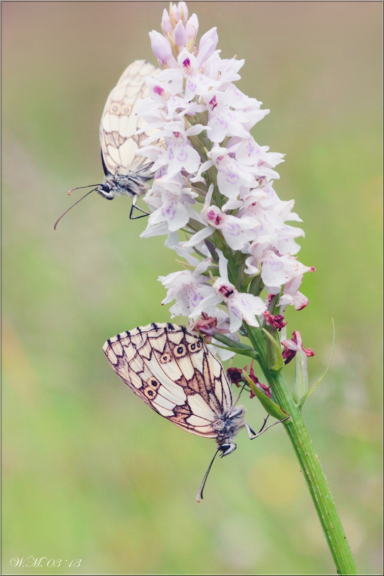 Photograph Marbled white by Wil Mijer on 500px