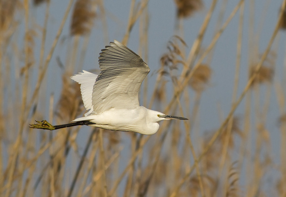 Photograph Little Egret by mohammad reza shahab on 500px