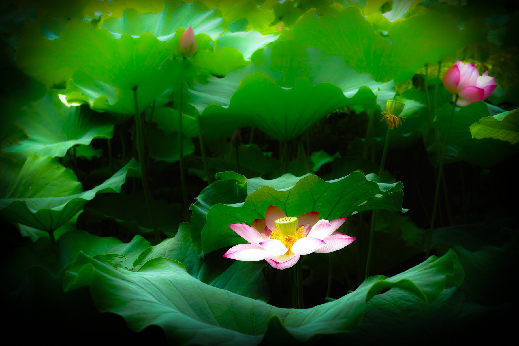 Photograph Lotus by Shinosuke Imabayashi on 500px